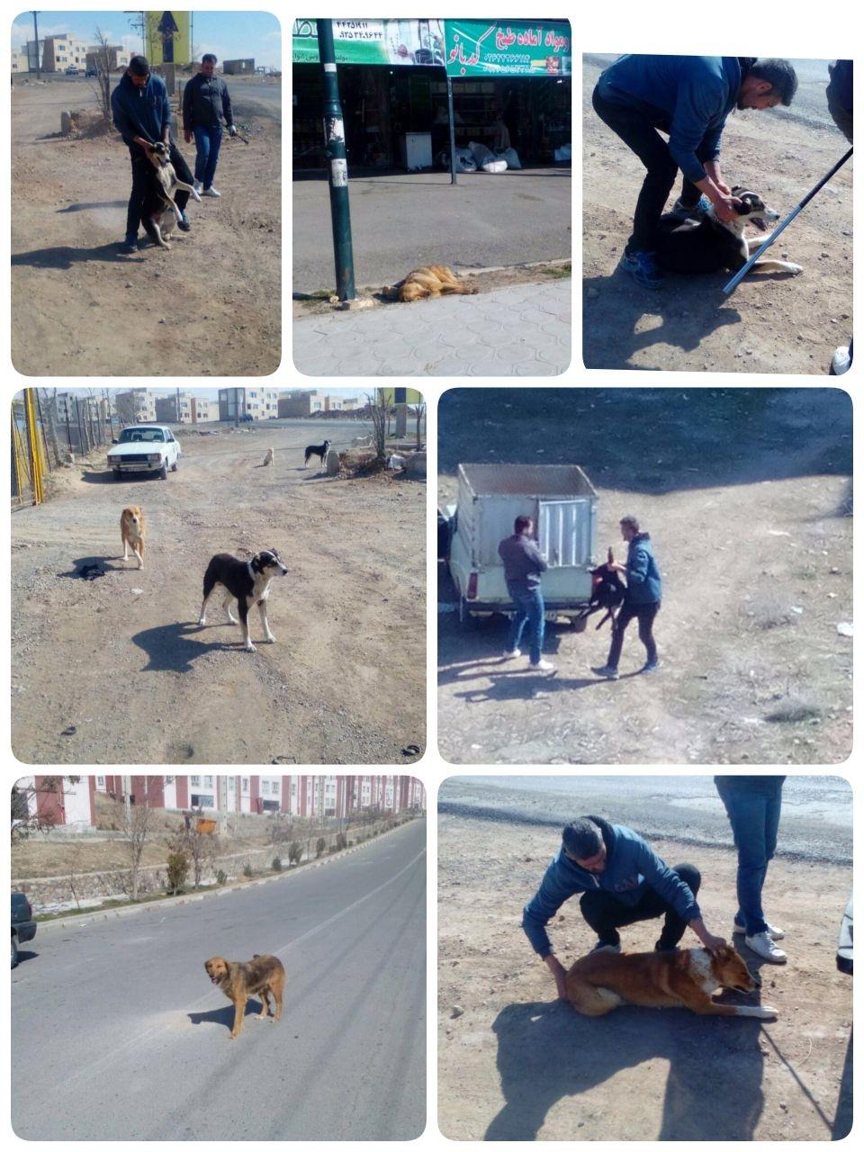 ۱۲۰۰ قلاده سگ بلاصاحب از سطح شهرجدیدهشتگرد توسط شهرداری زنده گیری شد